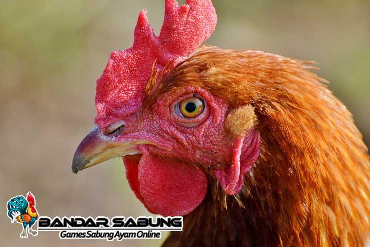 4-Jenis-Jengger-Terbaik-Ayam-Bangkok-Berkualitas