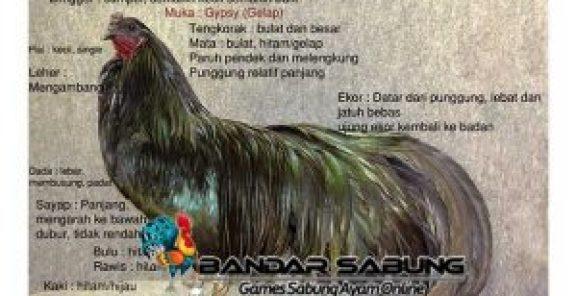 Asal Usul Ayam Aduan Black Sumatera