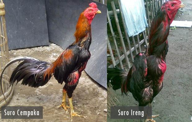 Ayam Suro, Jenis Ayam Aduan Yang Misterius - Sabung Ayam Online