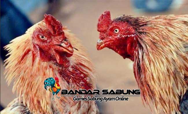 Cara Ampuh Agar Ayam Aduan Berani Bertarung Lagi - Sabung Ayam Online