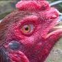 Cara Mengobati Katarak Pada Ayam Aduan Kesayangan