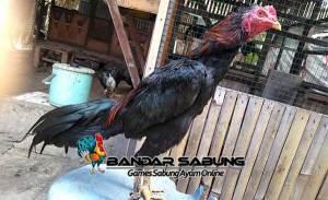 Ciri Ayam Aduan Yang Siap Diadu