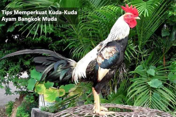 Tips Memperkuat Kuda-Kuda Ayam Bangkok Muda