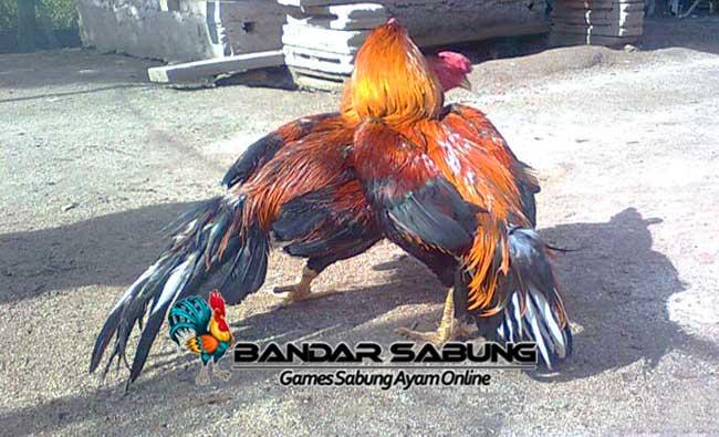 Macam Warna Bulu Pada Ayam Bangkok Aduan