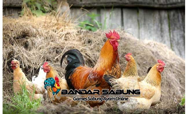 Cara Mengatasi Ayam Aduan Miyik Paling Mudah
