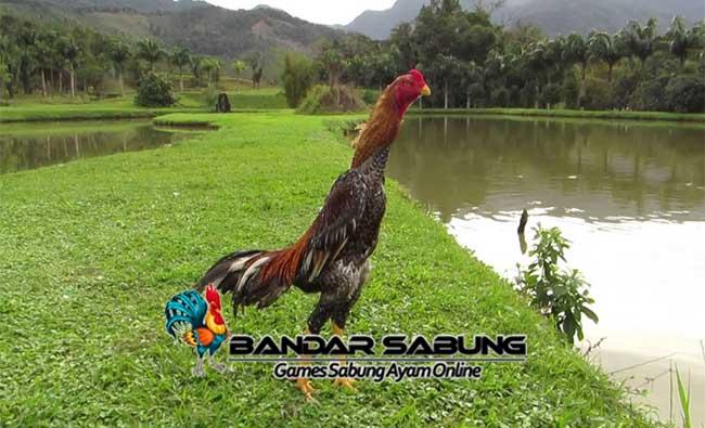 Bahaya Obat Manusia untuk Ayam Aduan