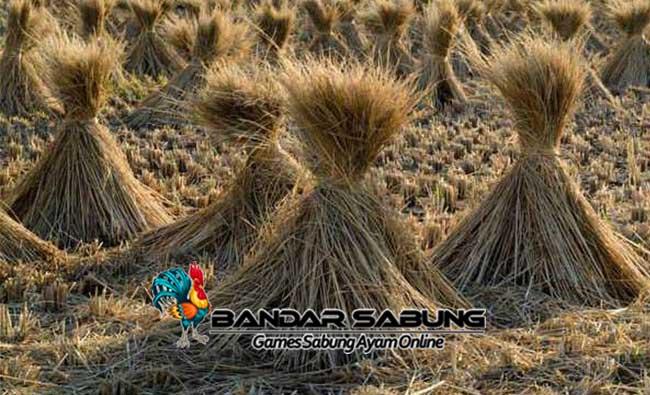 Memanfaatkan Bahan Pakan Ternak Dari Limbah Pertanian