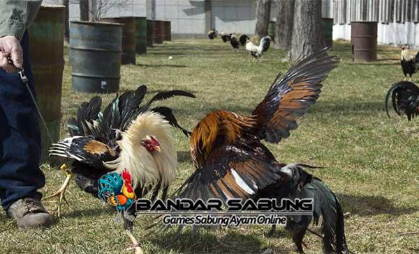 Cara Melatih Ayam bangkok Agar Menjadi Ayam Super