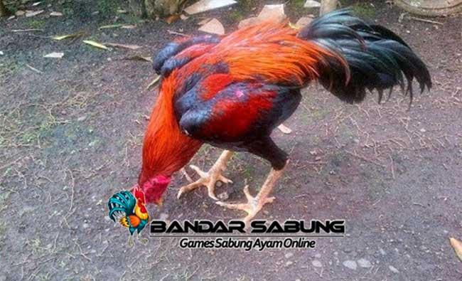 Cara Merawat Ayam Petarung Dengan Baik