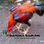 Cara Merawat Ayam Aduan Dengan Baik