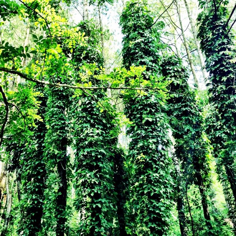 Pohon Susis