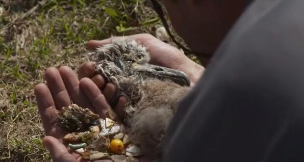 video unik sedih burung albatros