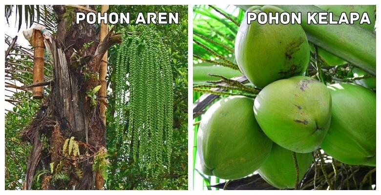 pohon aren dan pohon kelapa