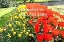 cung cap hoa tulip