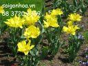 hoa tulip vang