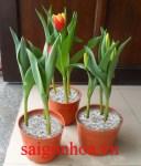 ban hoa tulip