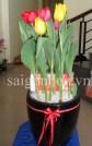 hoa tulip sai gon