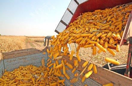 Cooperativa agricolă Banat Agro Vest, ce produce 50.000 de tone de cereale anual, a avut afaceri 56,5 mil. lei în 2019, plus 8%