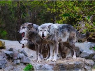 Dogs vs Wolves