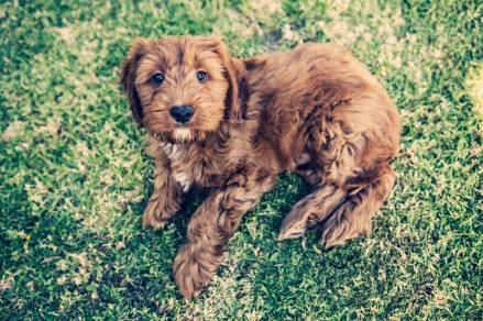 Banksia Park Puppy Kanye