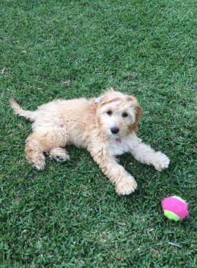 Banksia Park Puppies Lexi