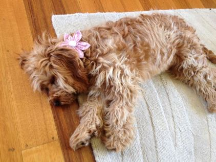 """""""Thought I'd send a photo of Phoebe modelling a beautiful fashion accessory ie pink flower."""""""