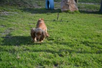 ADULT AGILITY PARK- Banksia Park Puppies - 106 of 117