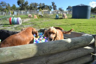 ADULT AGILITY PARK- Banksia Park Puppies - 27 of 117