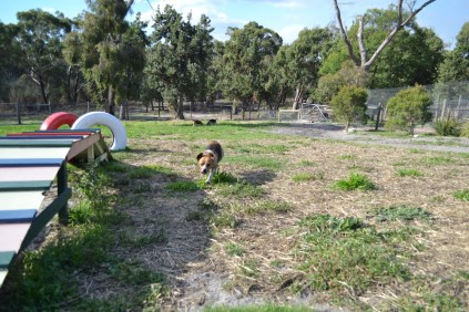 ADULT AGILITY PARK- Banksia Park Puppies - 55 of 117