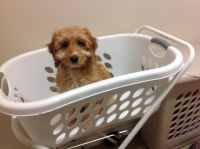 Banksia Park Puppy Review Charli