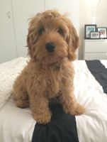 Banksia Park Puppy Review Chino