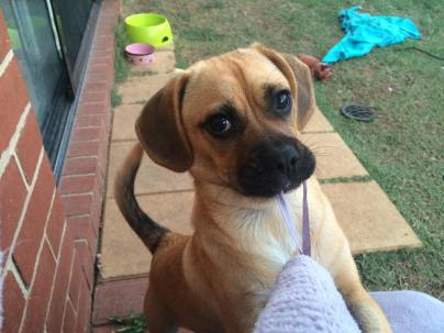 """This is my adorable Puggle Heidi , she is about 4 months old now, love her to bits when she behaves ."""