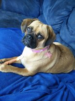 """This is our 10month old Miss Piggy The absolute light & love of our lives!!!! We love her so much & can't wait to add another puggle to our family xx"""