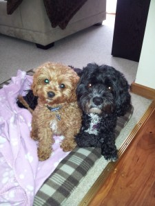 Banksia Park Puppy Cavoodles Bailey and Millie