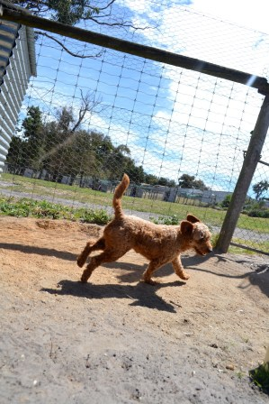 Banksia Park Puppies Blue