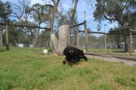 Banksia Park Puppies Pete