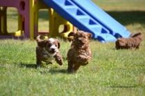 Banksia Park Puppies Cavoodles