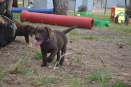 Banksia Park Puppies Meeka 9