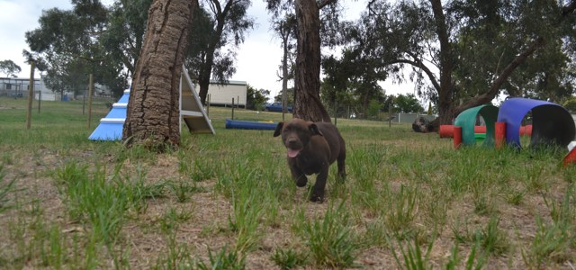 Banksia Park Puppies Mishka and Meeka 2