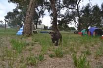 Banksia Park Puppies Mishka and Meeka 2