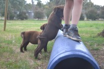 Banksia Park Puppies Mishka and Meeka 6