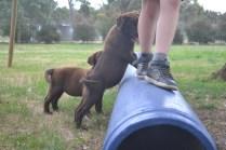 Banksia Park Puppies Mishka and Meeka 6