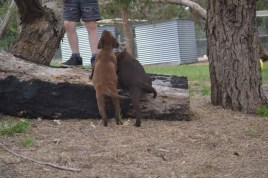 Banksia Park Puppies Mishka and Meeka 8