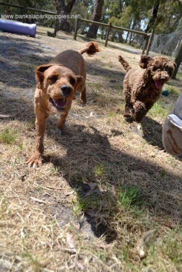 Banksia Park Puppies Taylee Cavoodle
