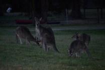 Banksia Park Puppies Kangaroos