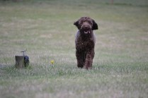Banksia Park Puppies Bradey 1