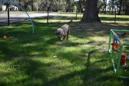 Alvin-Poodle-Banksia Park Puppies - 1 of 31