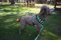 Alvin-Poodle-Banksia Park Puppies - 13 of 31