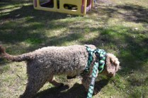 Alvin-Poodle-Banksia Park Puppies - 25 of 31