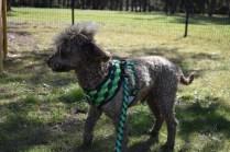 Alvin-Poodle-Banksia Park Puppies - 30 of 31